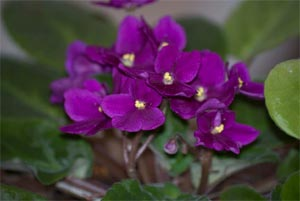 african-violets-cats