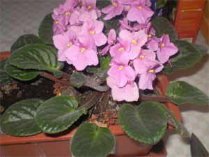 repotting african violets