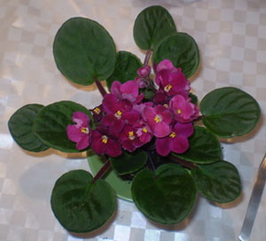 rooting-and-propagating-african-violets-7