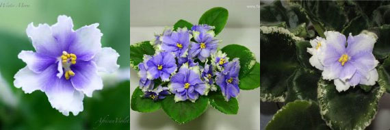 African Violet Ma's Winter Moon