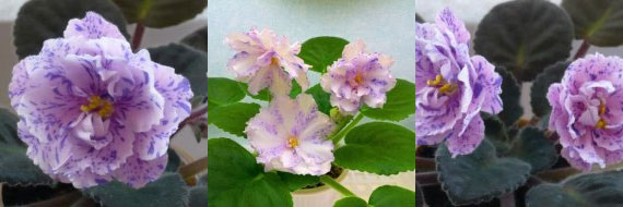 African Violet Neptune's Jewels