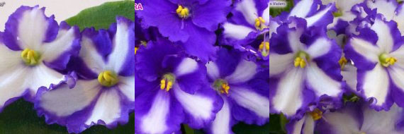 African Violet Optimara Chico
