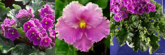 African Violet Optimara Everglory