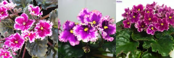 African Violet Optimara Everlove
