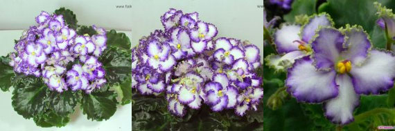 African Violet Optimara Everprecious