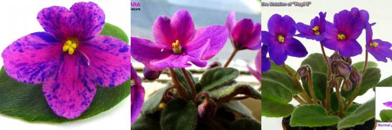 African Violet Optimara Little Hopi II