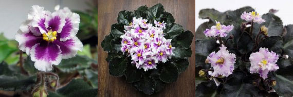 African Violet Rob's Boondoggle