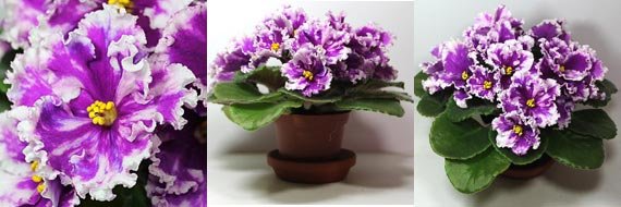 African Violets - Seyanets