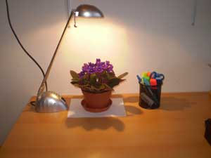 african-violets-plants-on-table-1