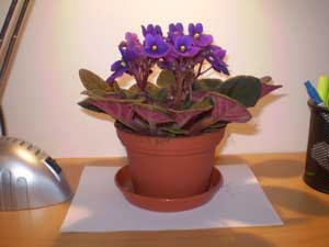 african-violets-plants-on-table-2